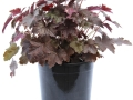 Heuchera Blackout #1