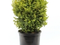 Buxus Suffruticosa #1