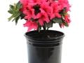 Azalea Girard's Rose #1
