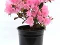 Rhododendron Bubblegum #1