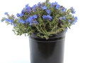 Lithodora Grace Ward #1