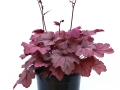 Heuchera Georgia Plum #1
