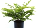 Dryopteris Crispa Whiteside #1