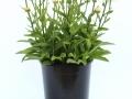 Leucanthemum Lacrosse #1