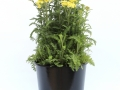Achillea Sunny Seduction #2