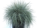 Festuca Beyond Blue #2