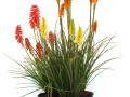 Kniphofia Assorted #1