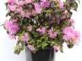 Rhododendron Bubblegum #3