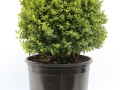 Buxus Suffruticosa #3