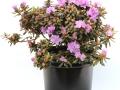 Rhododendron PJM Compacta #5