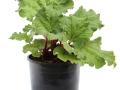 Rheum Canada #1 (Rhubarb)
