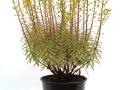 Euphorbia Ascot Rainbow #2