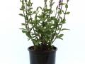 Salvia Caradonna #1